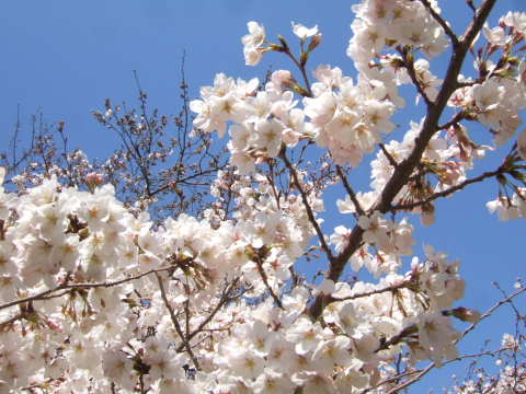 2011_0419桜 1(2011.4.6).jpg