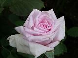 rose2006 009.jpg