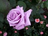 rose2006 013.jpg
