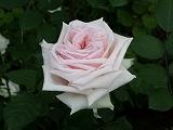 rose2006 015.jpg