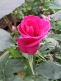 rose2006 019.jpg