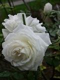 rose2006 024.jpg