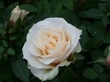 rose2006 028.jpg