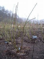 rose2006 004.jpg