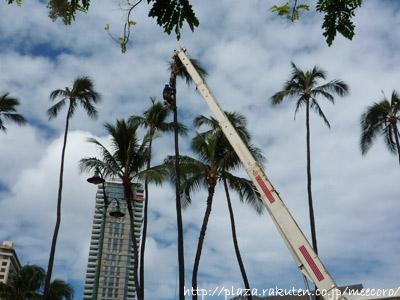 椰子の木切り