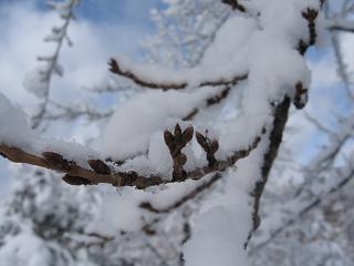 雪の枝1.JPG
