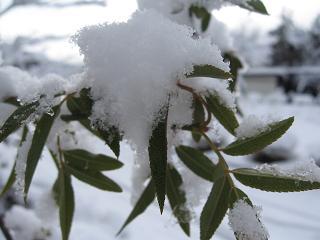 雪の枝2.JPG