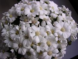 サイネリア白