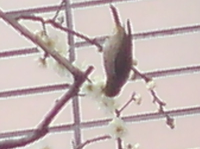 梅にウグイス