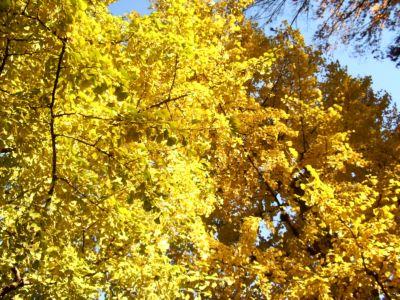 黄葉したイチョウ