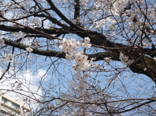 桜の写真 002.jpg