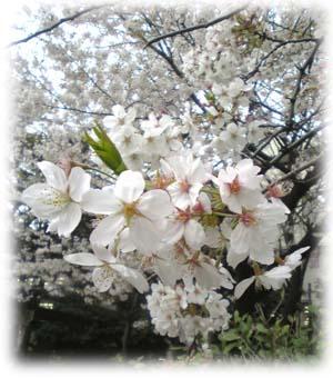赤羽講演の桜