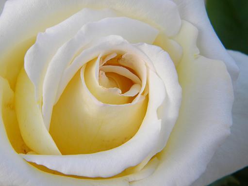 白バラ.JPG